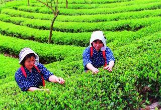 秘伝の健康茶